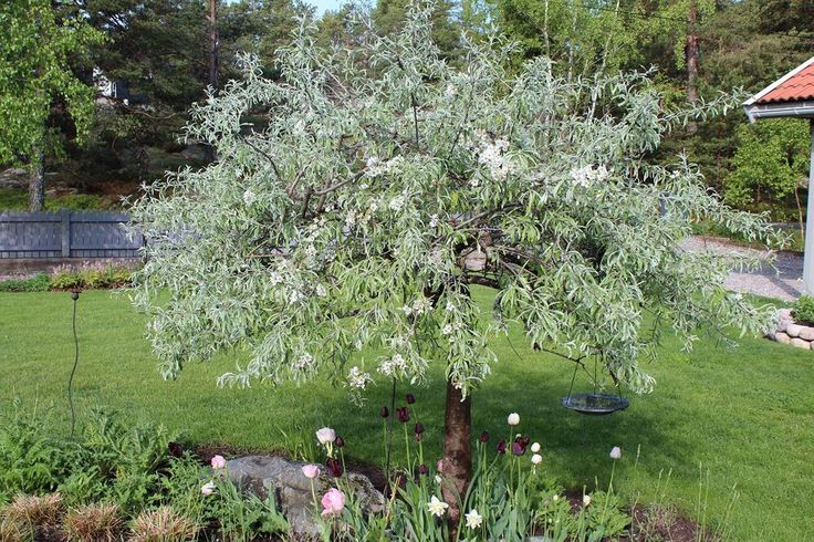 The olivtree of the north - Pyrus salicifolia