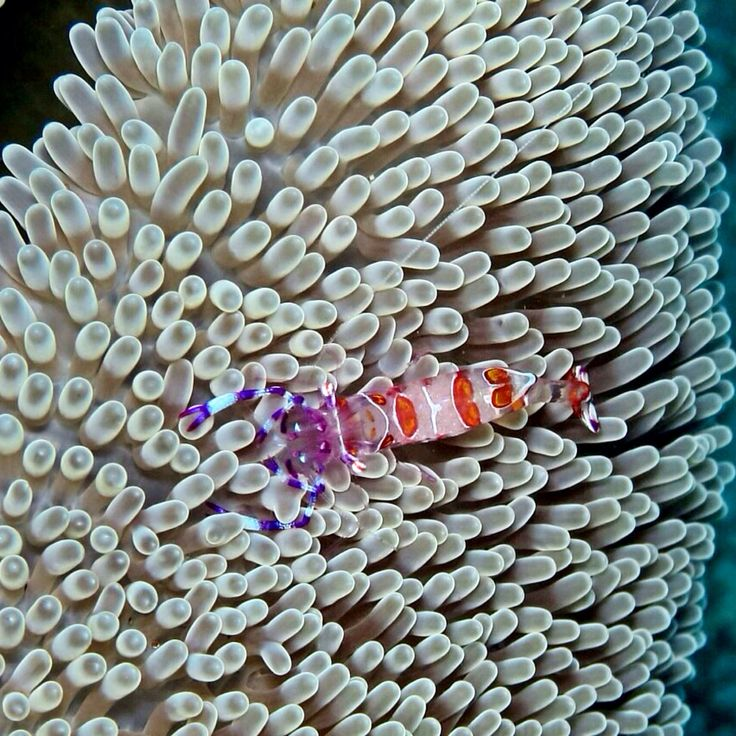 Taken in Malalayang dive site in Manado Bay muck dive. The best spot for macro underwater photography