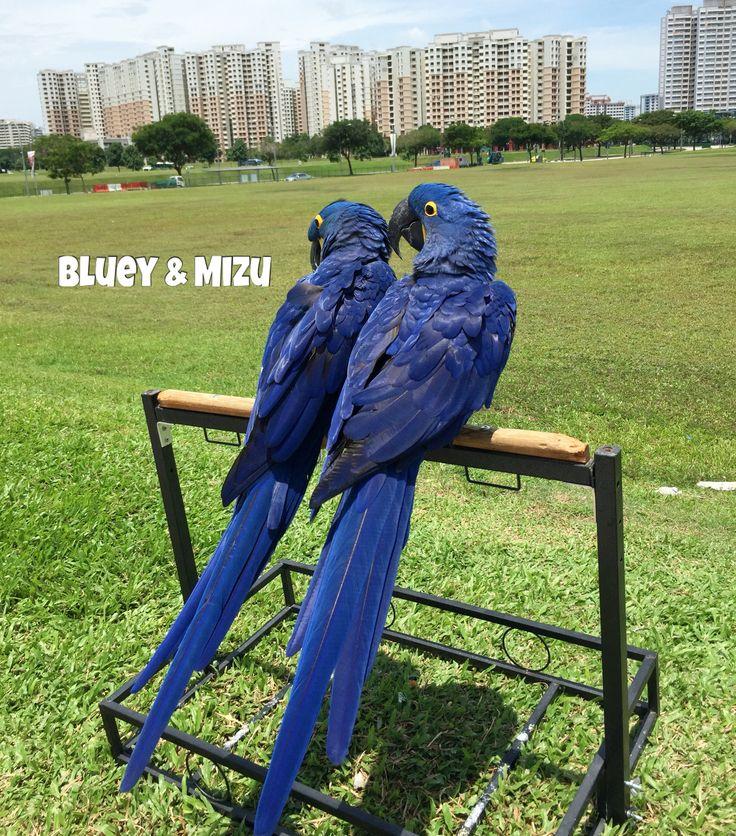 Sunbathing after their flights! 😎  #hyacinthmacaw #parrots #macaws #loro #guacamaya #papagaio #papegøje #papegaai #papagei #pappagalli #papuga #Попугаи #papağan #鸚鵡  #affinityflight #parrot #macaw #guacamayo #arara #perroquet #papagaj #pappagallo #papegøye #Попугай #papegoja #ببغاء #オウム#앵무새 #طوطی