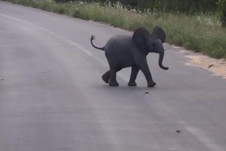 In den frühen Morgenstunden wurde dieser kleine Elefant im Kruger National Park gefilmt. Das Kalb gehört zu einer großen Zuchtherde und hat ...