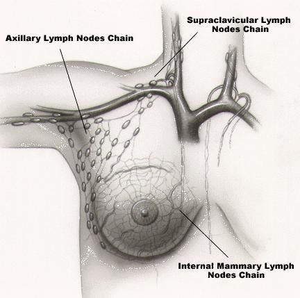 Internal mammary lymph nodes anatomy