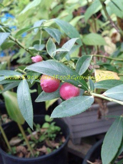 Pink Lemonade Blueberry - Backyard Food Growing