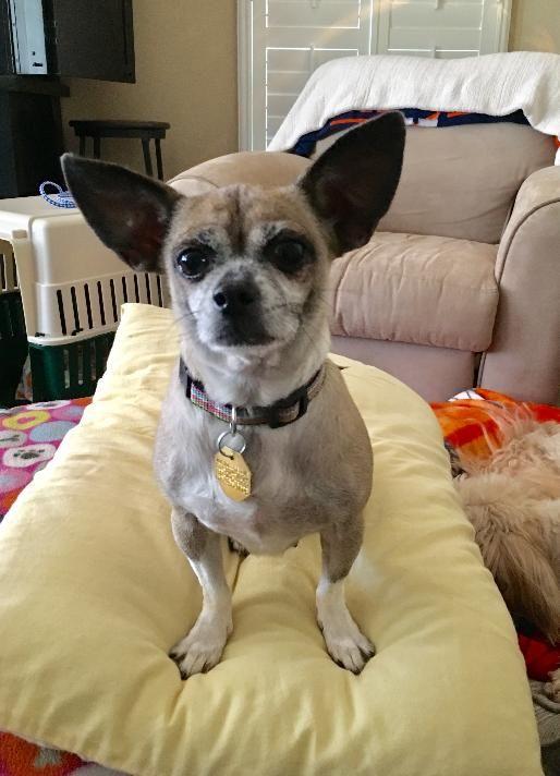 Chug dog for Adoption in Houston, TX  ADN-777179 on