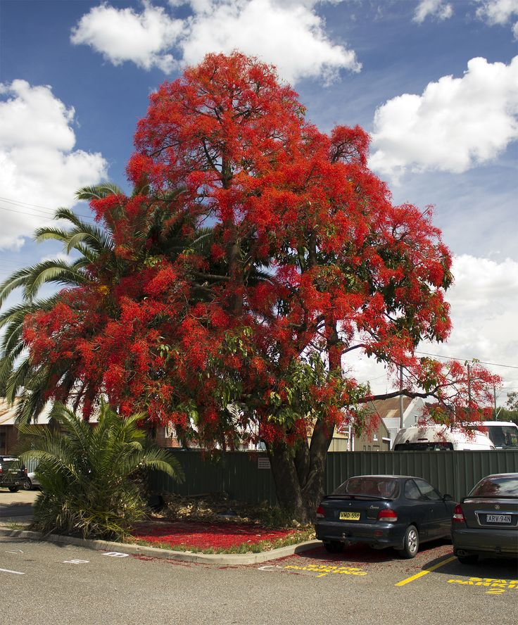 Illawarra-Flame-Tree (Brachychiton acerifolius; Family: Malvaceae) in full flower. Photographed in Wagga Wagga, New South Wales. It is a large tree native to subtropical regions on the east coast of Australia. It is famous for the bright-red bell-shaped flowers that often cover the whole tree when it is leafless. Along with other members of the genus Brachychiton, it is commonly referred to as a Kurrajong.