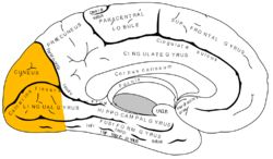 Gray727 occipital lobe.png