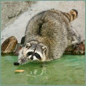 Fat Raccoon -