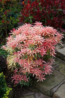 Spring foliage colours of Mountain Fire Pieris japonica 'Flaming Silver' - zones 5-8