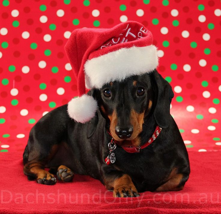 737 Best Christmas And Animals Images On Pinterest Dogs