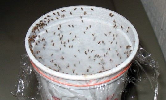 Homemade Traps to Get Rid of Fruit Flies (Without Chemicals) How to make homemade fly traps to get rid of fruit flies? Fruit Fliesfruit flies are the worst thing about numerous homeowner's existence. They have...