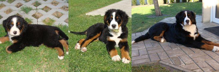 Bruno, bernský salašnícky pes...od 8 týždňa do 1 roku