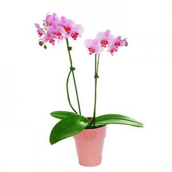 Pink Phalaenopsis Orchid Delivery in #Uk