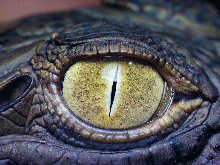 oog van een krokodil
