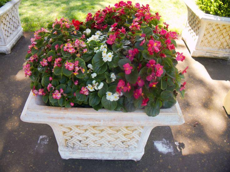 Potted Begonias, Laurel Bank