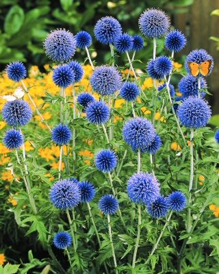 Echinops ritro Veitch's Blue, contrast to achillea