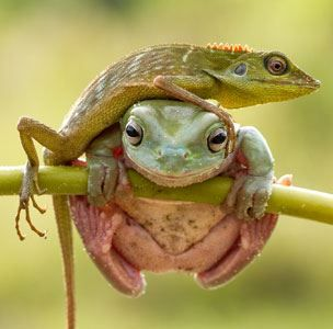 Image: Lizard crawling over dumpy tree frog in Sambas, Indonesia, on July 6 (© Hendy Mp/Solent News & Photo Agency)