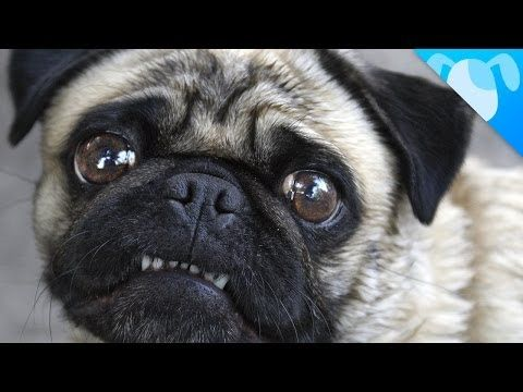 Pugs! These little guys originated in 400 BC in China. A curled pug tail is considered to be perfect. If hugged too hard, their eyeballs can pop out and have to manually be placed back. They are very loving and perfect for smaller homes. Pugs do shed a lot!