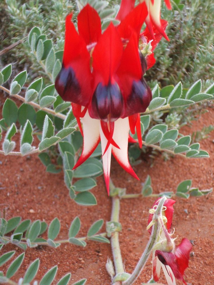Sturt desert pea the flower of South Australia