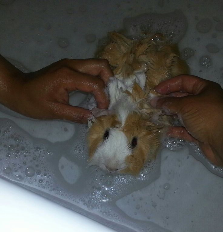 how to give a bath to a guinea pig