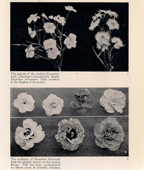 Carnation and Dianthus Caryophyllus
