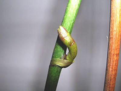 Le orchidee in generale, soprattutto le Phalaenopsis, se coltivate in maniera ottimale possono fiorire spesso e per periodi prolungati. Per ...