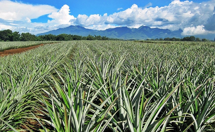 Del Monte Pineapple farm... bukidnon Pineapple farm