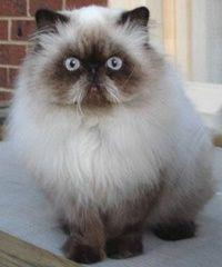 gatos persas (20)