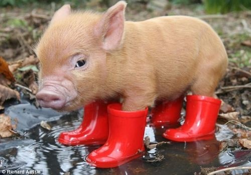 A pig. In wellies. Only made more awesome by the fact he is named Clive. A pig. In wellies. Only made more awesome by the fact he is named Clive.: Piglets, Little Pigs, Rain Boots, Red Boots, Pet, Minis Pigs, Baby Pigs, Piggy, Teacups Pigs