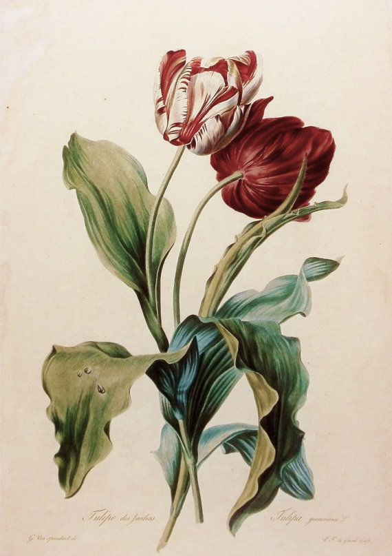 Flower Print, Botanical Tulip des Jardins (Shabby Chic Cottage Decor, 19th Century Flower Art) No. 39