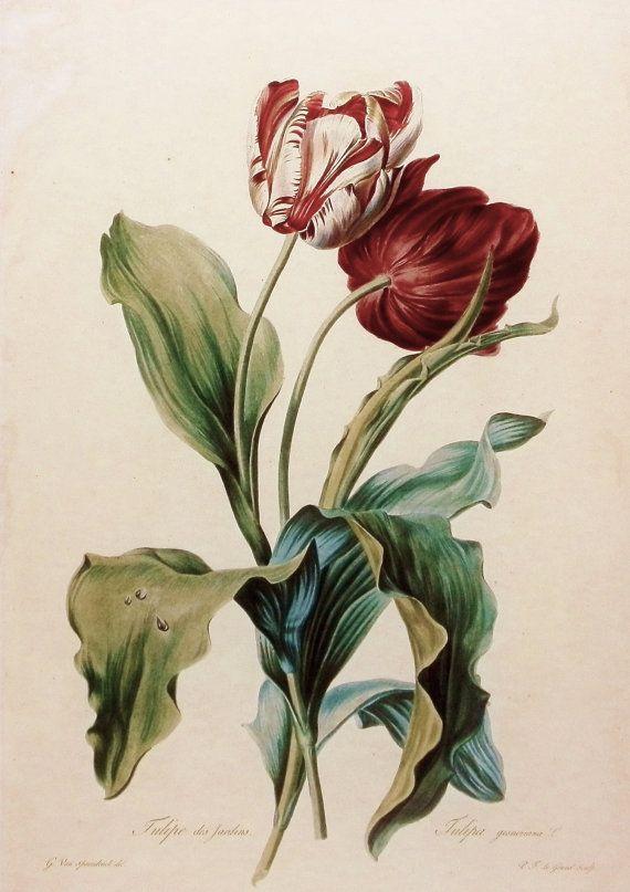 Flower Print, Botanical Tulip des Jardins, 19th Century Flower Art. Antique botanical tulips illustration.