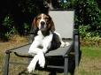 Treeing Walker Coonhound!   no its not a big beagle lol