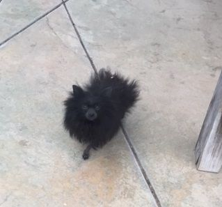 Pomeranian dog for Adoption in VACAVILLE, CA. ADN-751853 on PuppyFinder.com Gender: Male. Age: Adult