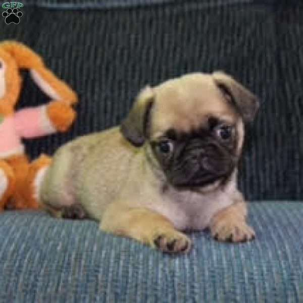 Meet Charlotte, a lovable Pug puppy with a fun personality. This sweet pup is vet checked, up to date on shots and wormer, plus comes with a health guarantee provided by the breeder. To find out more about Charlotte, please contact Jesse today!