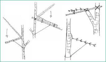 Техника корректировки формы и направления роста ветвей