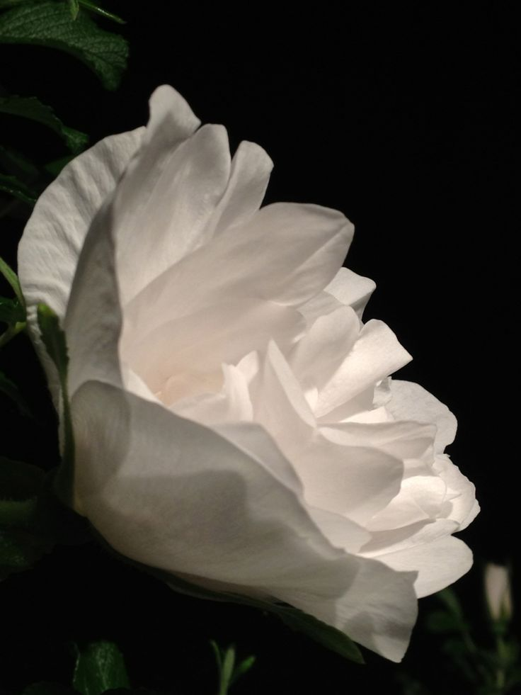 Blanc Double Coubert - Rose at night