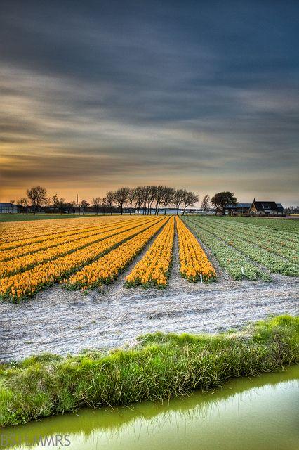 Tulip field, De Zilk, South Holland, The Netherlands. #greetingsfromnl