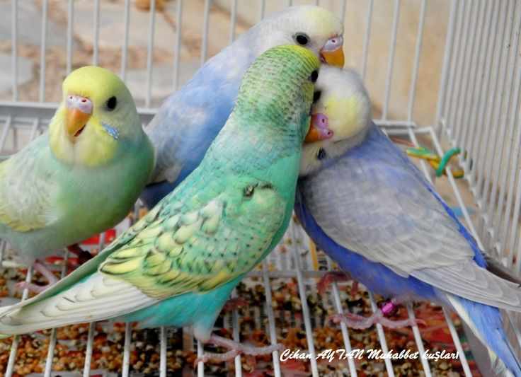Rainbow Budgie Google Search Animals I Love
