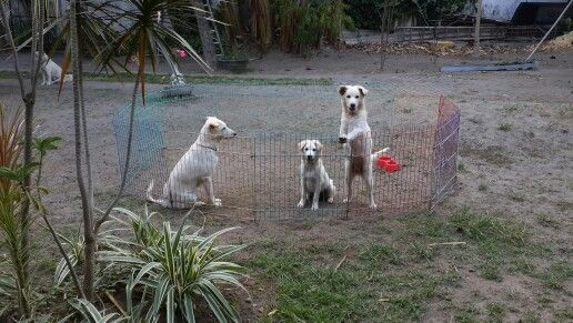 Kintamani dog & kids