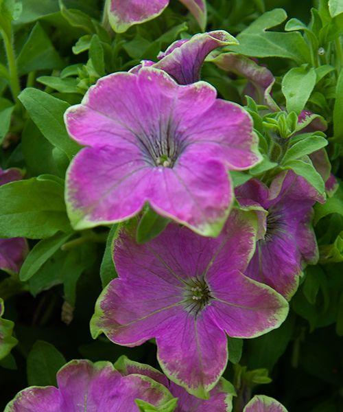 Něžně růžové květy s limetkově zeleným okrajem působí svěžím dojmem. Grazytunie jsou nové, polopřevislé petúnie. Od běžných petúnií je odlišuje jejich na první pohled hustý, kompaktní růst a spousta pevných, vzpřímeně rostoucích květů. Díky tomu nevidíte jednotlivé výhony, ba ani listy. Vnímáte jen silně nahloučené množství květů v těch nejbláznivějších barvách. A barvy k létu patří! Jsou samočistící, neublíží jim ani déšť či vítr.