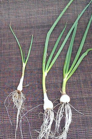 Regrowing Scallions/Green Onions from Scraps 101 - HOMEGROWN