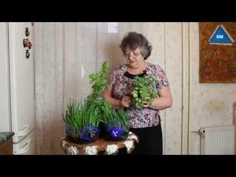 Как вырастить зеленый лук дома в  пластиковой бутылке