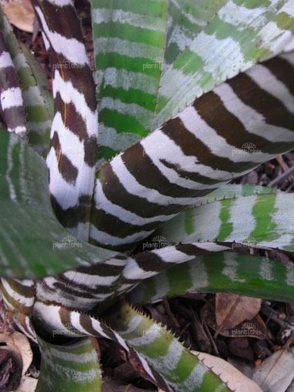 Zebra striped bromeliad. Aechmea chantinii