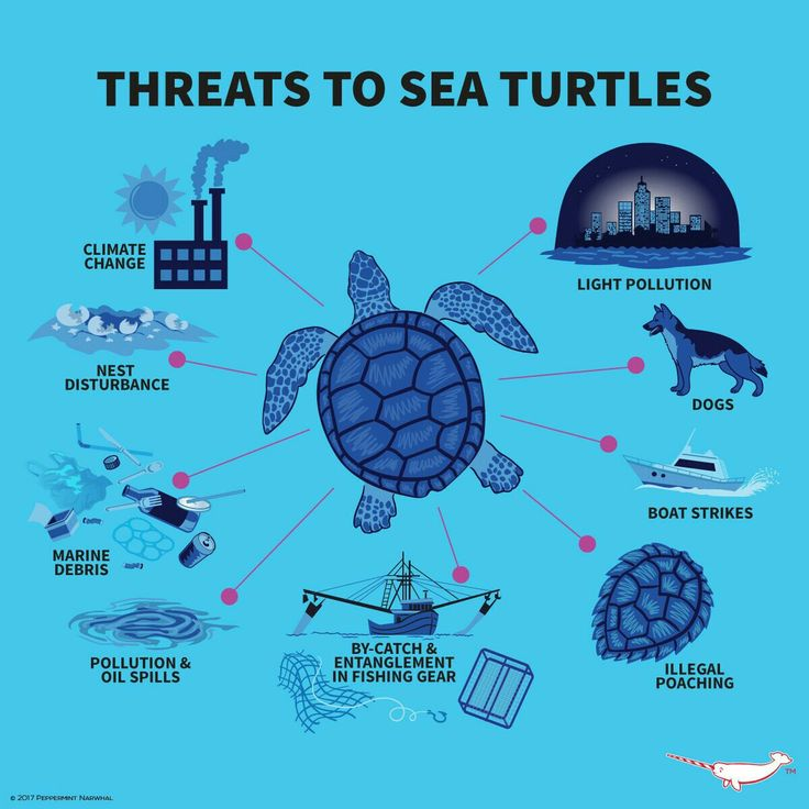 Sea Turtle Infographic