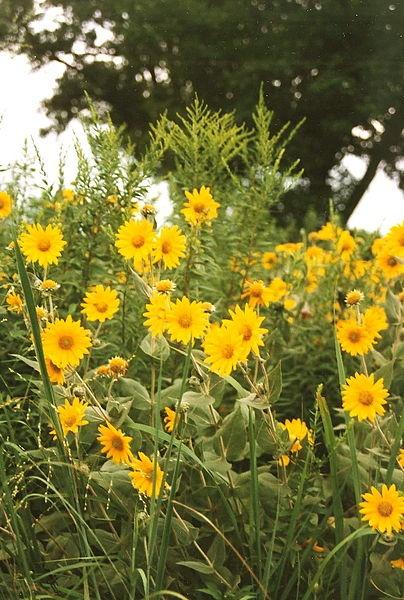 20 best images about native nebraska plants on pinterest