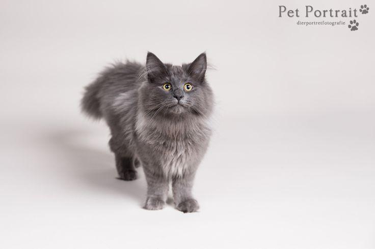 Kattenfotografie Hillegom - Fotoshoot Noorse Boskatten-1