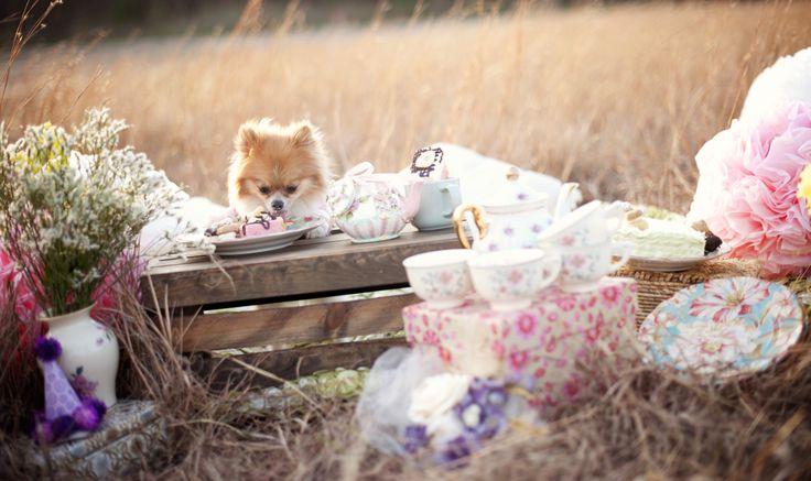 Pets on pinterest chihuahuas teacup pomeranian and baby pomeranian