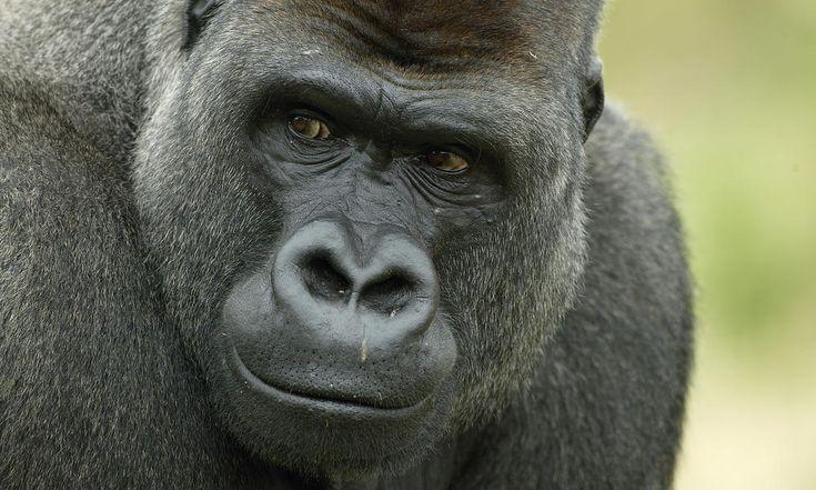 Head portrait of male silverback Western lowland gorilla UK