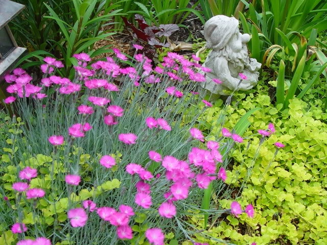 19 best garden dianthus firewitch images on pinterest for Perennial ground cover with pink flowers
