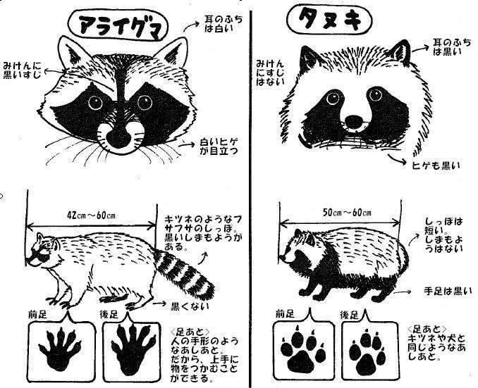 アライグマとタヌキの見分け方 | How to identify between raccoon and japanese raccoon dog…
