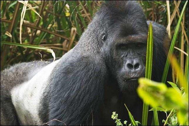Gorila de Grauer. El simio más grande del mundo, diezmado por la guerra en el Congo