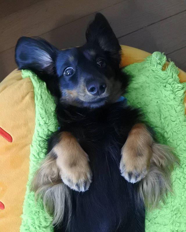 Good morning ☀ #でし #ダックスフンド #ダックスフント #ダックス #ミニチュアダックスフンド #ミニチュアダックス #ブラックタン #dachshund #dachshunds #dachshundsofinstagram #dog #dogs #dogstagram #nationaldogday #doxie #sausagedog #愛犬 #犬 #わんこ #ペット #短足部 #ワンコなしでは生きて行けません会 #かわいい #kawaii #cute #松戸のロジャー #madroger